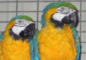 Blue-and-Yellow-Macaw.jpg Image
